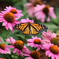 Monarch butterfly in pollinator garden. Getty Images.