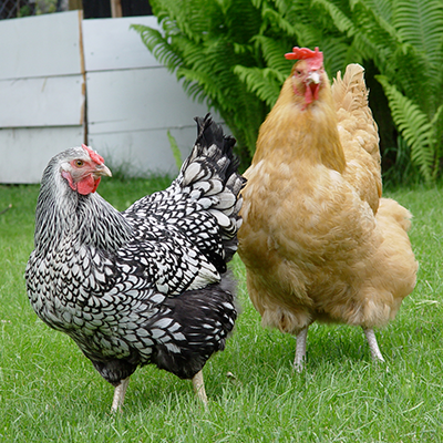 Two backyard chickens