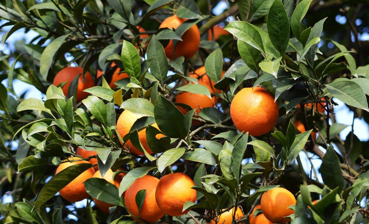 Orange Crops